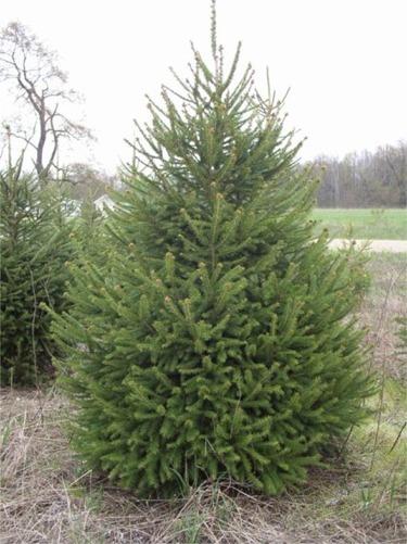 Christmas Tree Nursery